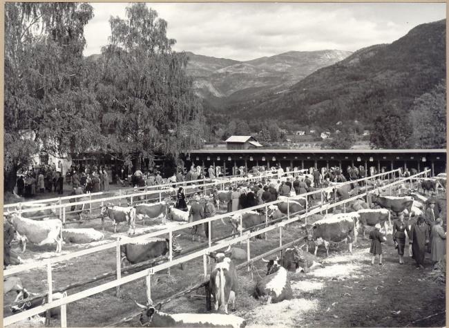 1956 utstilling av telemarkskyr i fjoset