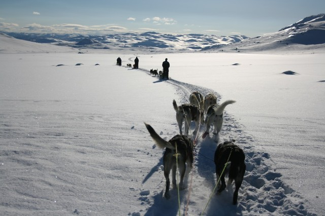 Hundekjøring - Haukeli Husky