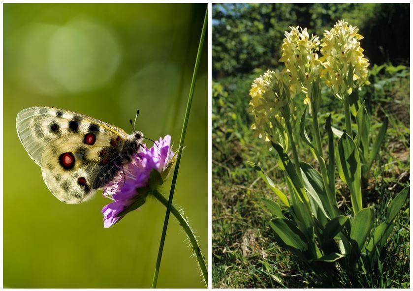 På Lårdalstigen kan du oppleve både Apollosommarfugl og Søstermarihand (gul orkide). Foto: Jostein Hellevik