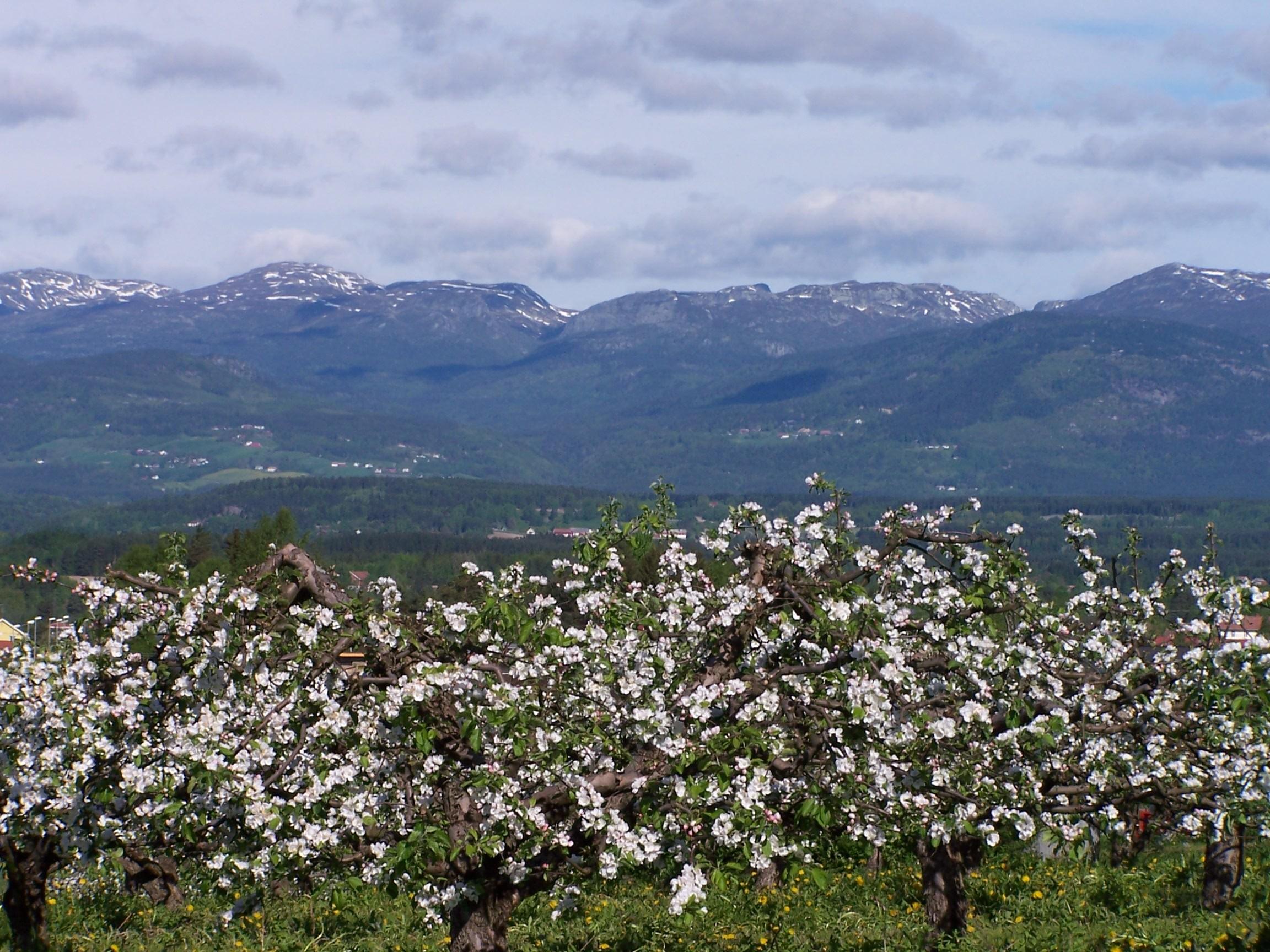 Blomstring i Fruktbygda Foto: Vidar Johan  Lyngstad