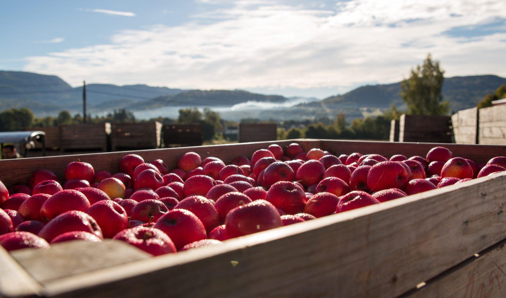 Kasse med røde epler i Fruktbyda