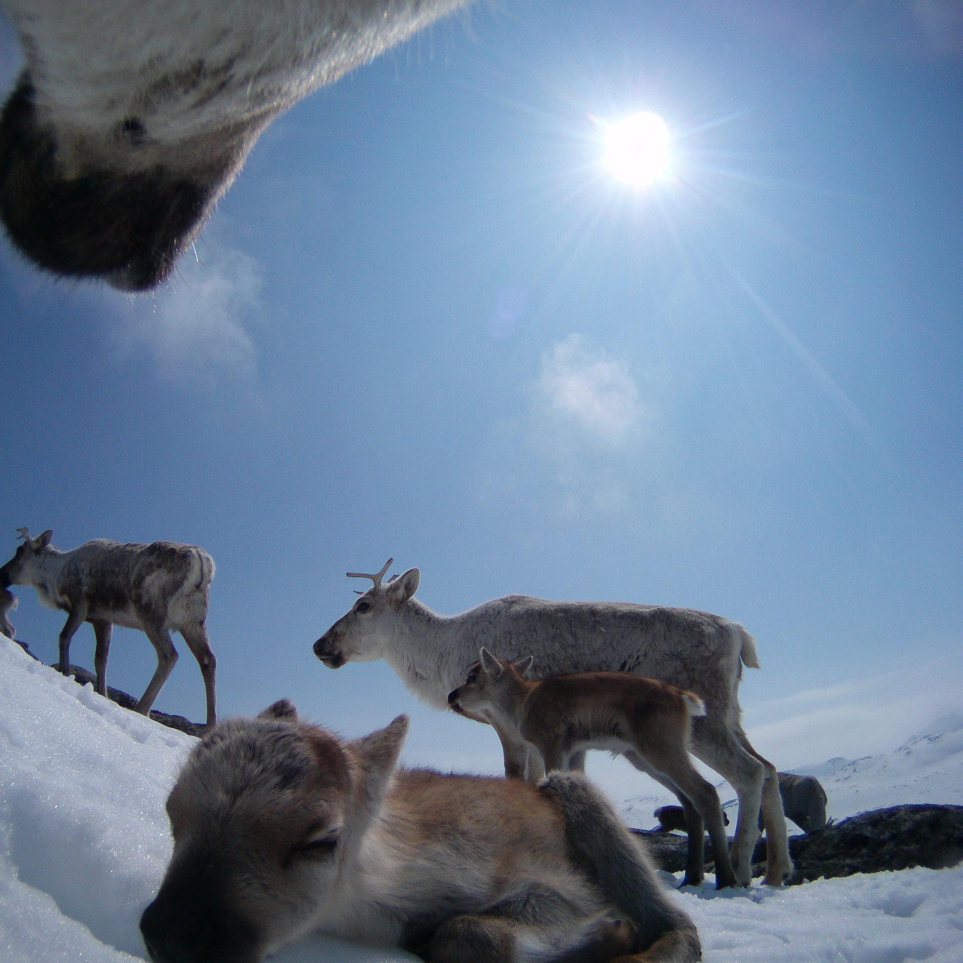 Bella og kalvene på Hardangervidda