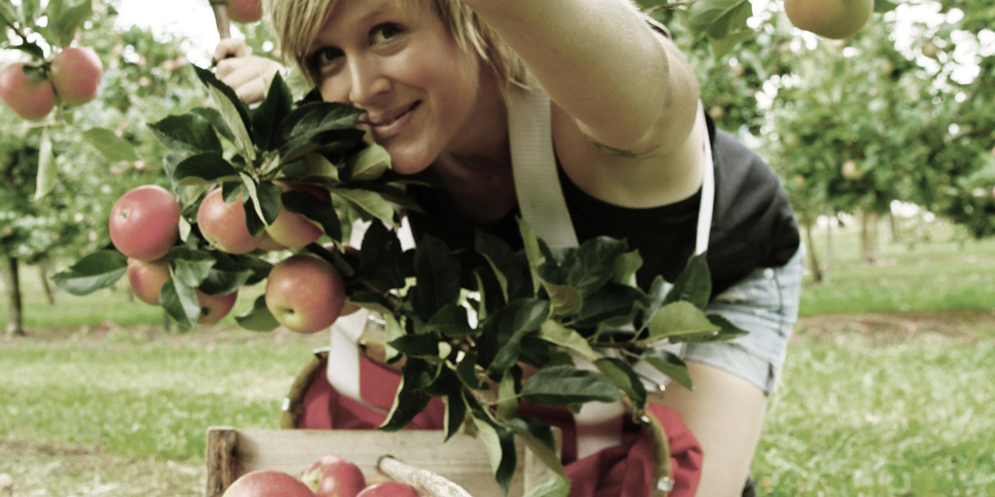 Eplesanking i Fruktbyga Telemark